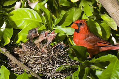Northern Cardinal Father And Chicks Poster by Tom Vezo