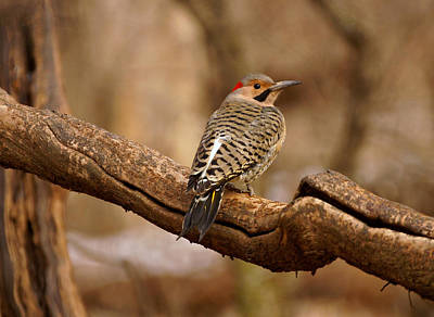 Northern Flicker II Poster by Sandy Keeton