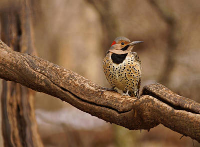 Northern Flicker Poster by Sandy Keeton