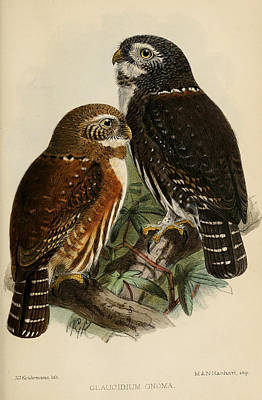 Northern Pygmy Owl Poster by J G Keulemans
