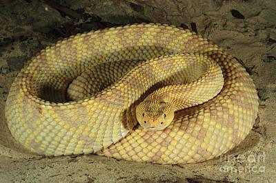Northwestern Neotropical Rattlesnake Poster by Gregory G. Dimijian
