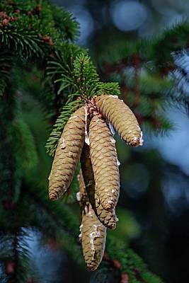 Norway Spruce (picea Abies) Poster by Dr. Nick Kurzenko