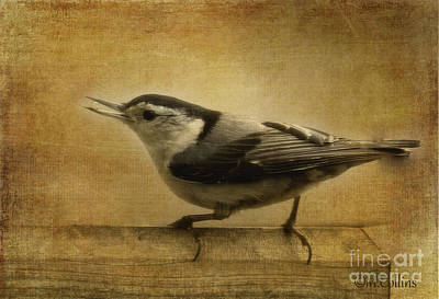 Nuthatch Poster by Amanda Collins