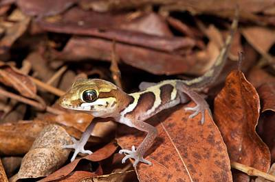 Ocelot Gecko Poster by Alex Hyde