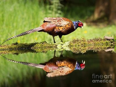 Oh My What A Handsome Pheasant Poster by Louise Heusinkveld