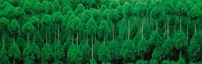 Onogo Kitayama Cedar Trees Kyoto Japan Poster by Panoramic Images