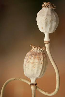 Opium Poppy Seedheads Poster by Maria Mosolova