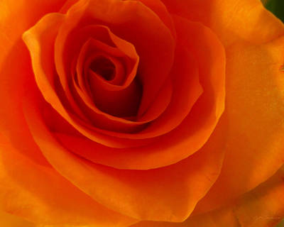 Orange Flame Fatale Garden Rose Poster by Julie Magers Soulen