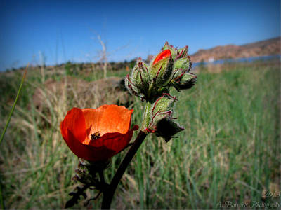 Orange Globe Mallow And The Lake Poster by Aaron Burrows