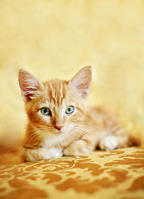 Orange Tabby Kitten Poster by Andrea Borden