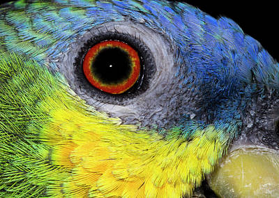 Orange-winged Amazon Parrot Poster by Nigel Downer