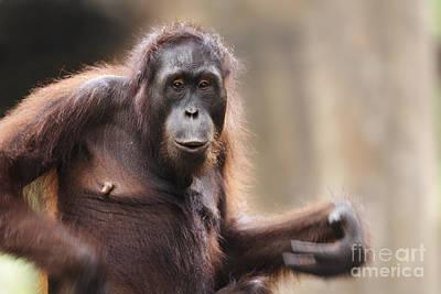 Orangutan Poster by Richard Garvey-Williams