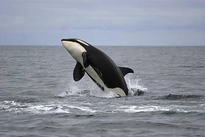 Orca Breaching Prince William Sound Poster by Hiroya Minakuchi