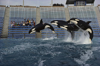 Orcas  Jumping Sea World San Diego Poster by Flip Nicklin