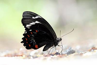Orchard Swallowtail Butterfly Poster by Gerry Pearce