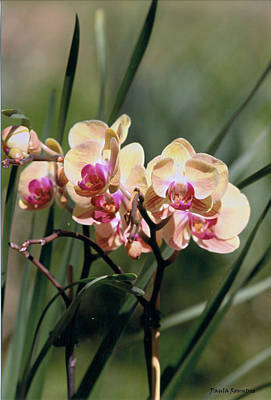 Orchid Dream Poster by Paula Rountree Bischoff