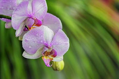 Orchid, Paramaribo, Suriname (large Poster by Keren Su