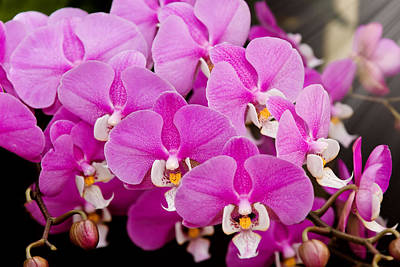 Orchid -  Phalaenopsis - Tickled Pink Poster by Mike Savad