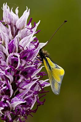 Orchis Simia With Butterfly Poster by Science Photo Library