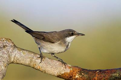 Orphean Warbler (sylvia Hortensis) Poster by Photostock-israel
