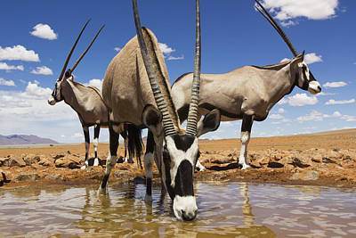 Oryx At Waterhole Namibrand Nature Poster by Theo Allofs