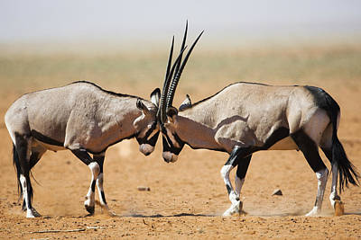 Oryx Males Fighting Namibrand Nature Poster by Theo Allofs