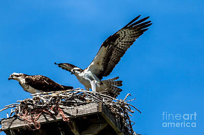 Osprey Arriving Home Poster by Robert Bales