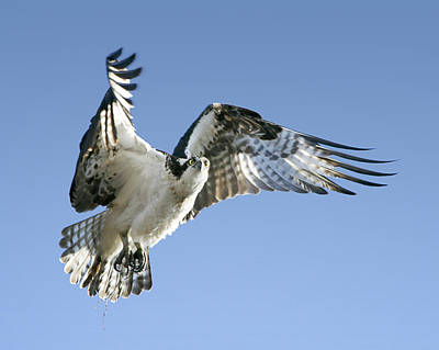 Osprey Carrying Twig Poster by Barbara Smith