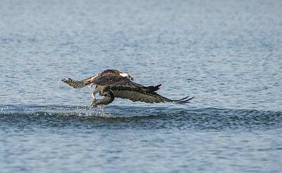Osprey In Action Poster by Loree Johnson