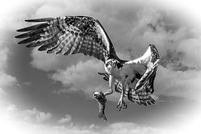Osprey In The Clouds Black And White D7774 Poster by Wes and Dotty Weber