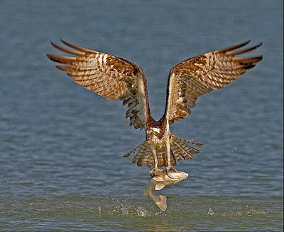 Osprey Morning Catch Poster by Susan Candelario