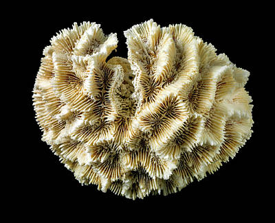 Oulophyllia Crispa Poster by Natural History Museum, London