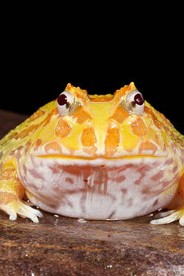 Pac Man Frog Ceratophrys On A Rock Poster by David Kenny