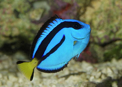 Pacific Blue Tang Poster by Nigel Downer