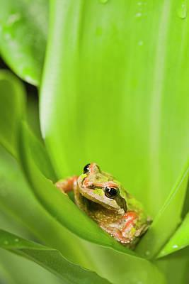 Pacific Chorus Frog  Pseudacris Regilla Poster by Corey Hochachka