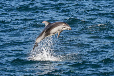 Pacific White-sided Dolphin Leaping Poster by Flip  Nicklin