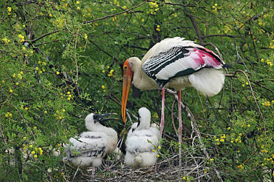 Painted Stork & Young Ones,keoladeo Poster by Jagdeep Rajput