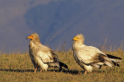 Pair Of Egyptian Vultures In Courtship Poster by Thomas Wiewandt