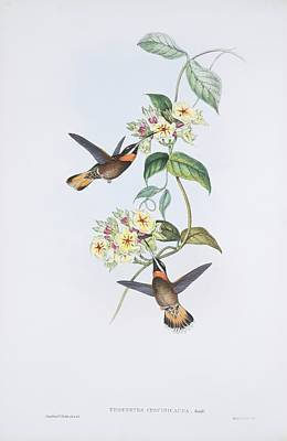 Pale-tailed Barbthroats, Artwork Poster by Science Photo Library