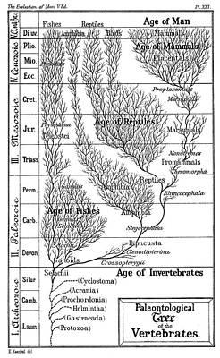 Paleontological Tree Of Vertebrates Poster by Universal History Archive/uig