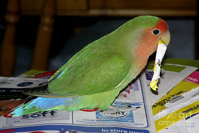 Peach-faced Lovebird Poster featuring the photograph Paper Shredder Pickle by Terri Waters
