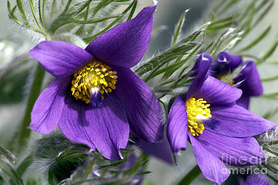 Pasque Flower Poster by Sharon  Talson