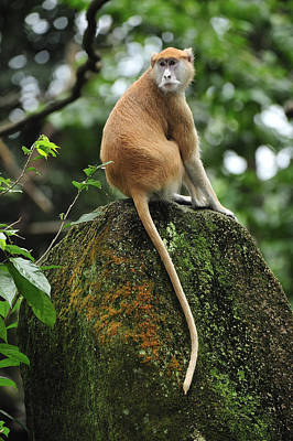 Patas Monkey Poster by Thomas Marent