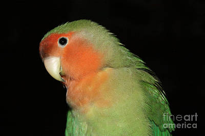 Peach-faced Lovebird Poster featuring the photograph Peach Faced Lovebird by Terri Waters