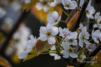Pear Blossom Poster by Mandy Judson