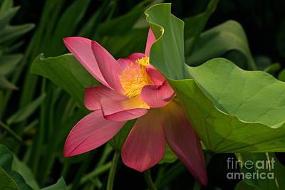 Peekaboo Lotus Blossom Poster by Byron Varvarigos