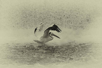 Pelican Landing In Black And White Poster by Thomas Young