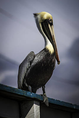 Pelican On Dock Poster by Debra Forand