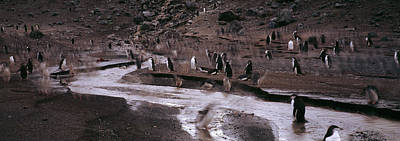 Penguins Make Their Way To The Colony Poster by Panoramic Images