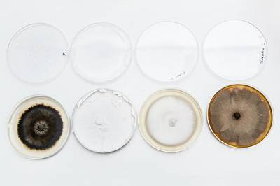 Penicillium Fungus In Petri Dishes Poster by Gustoimages